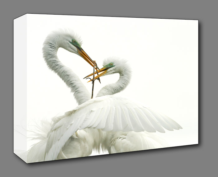 Great Egret (Ardea alba) A gift for the mate during nesting and breeding season.