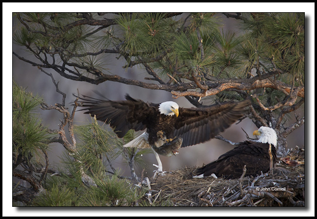 Bals Eagle (Haliaeetus leucocephalus) nest with two chicks with prey being brought into the nest._Copyright John Cornell
