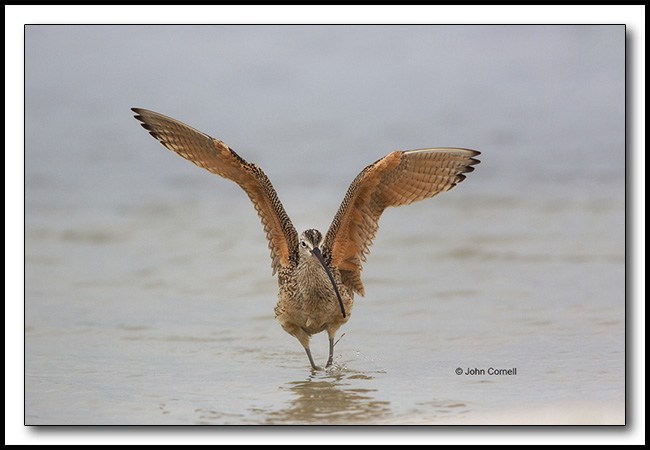 Long-billed Curlew (Numenius americanus) wing stretch_Copyright John Cornell