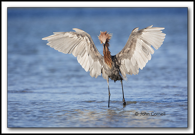 Reddish Egret (Egretta rufescens) White morph of the Reddish Egret. Engaged in foraging with animated