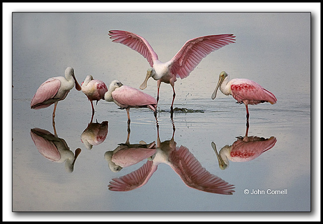 Roseatte Spoonbills and reflection, early morning light,_Copyright John Cornell