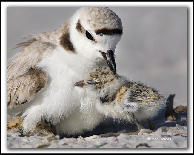 Snowy Plover (Charadrinus alexandrinus) with a chick that is only hours old._Copy right John Cornell