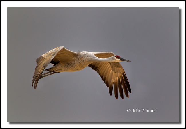 Sandhill Crane (Grus canadensis) in flight at dawn._Copyright John Cornell