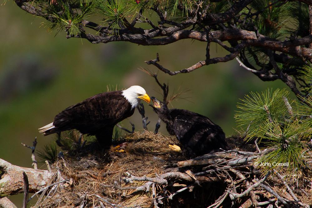 Bald Eagle;Birds of Prey;Eagle;Feeding Behavior;Haliaeetus leucocephalus;Nest;Oregon;Smith Rock State Park;aerie;chick;feeding;juvenile;parent;parenting;raptor;raptorial