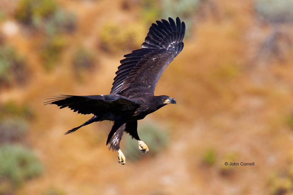 Bald Eagle;Eagle;Haliaeetus leucocephalus;curved beak;juvenile;predator;raptor;raptorial;talons, one animal;close-up;color image;photography;day;birds;animals in the wild;Birds of Prey;Curved Beak;Hunter;Hunters;Predator;Predatory;Talon;Talons;Raptor;Raptors;avifauna;feathered;feathers;wilderness;perch;perching;watch;eye;nature;wild;looking;perched;watchful;outdoors;Wildlife;Close up;close up