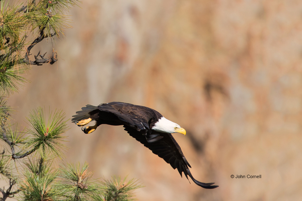 Bald Eagle;Eagle;Flying Bird;Haliaeetus leucocephalus;Photography;action;active;aloft;behavior;birds;color image;flight;fly;flying;in flight;motion;movement;one animal;predator;predatory;raptor;soar;soaring;talon;talons;wing;winged;wings