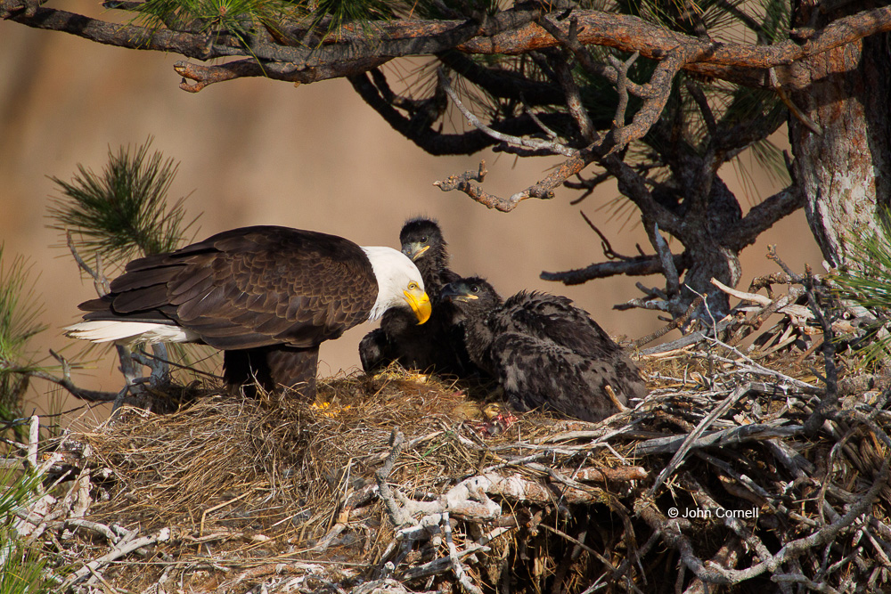 Bald Eagle;Eagle;Feeding Behavior;Haliaeetus leucocephalus;Nest;Oregon;Smith Rock State Park;chicks;feeding;parent;predator;predatory;raptor;talon;talons