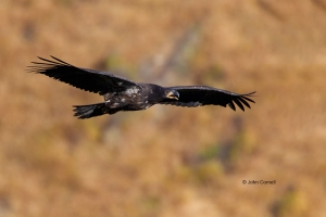 Bald-Eagle;Eagle;Haliaeetus-leucocephalus;curved-beak;hunter;juvenile;predator;r