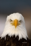 Alaska;Bald-Eagle;Birds-of-Prey;Haliaeetus-leucocephalus;Kenai-Peninsula;close-u