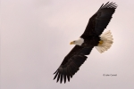 Alaska;Bald-Eagle;Flying-Bird;Haliaeetus-leucocephalus;Kenai-Peninsula;Photograp