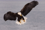 Alaska;Animals-in-the-Wild;Bald-Eagle;Birds-of-Prey;Eagle;Haliaeetus-leucocephal