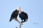 Animals-in-the-Wild;Bald-Eagle;Birds-of-Prey;Eagle;Haliaeetus-leucocephalus;Phot