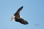Animals-in-the-Wild;Bald-Eagle;Birds-of-Prey;Eagle;Flying-Bird;Haliaeetus-leucoc