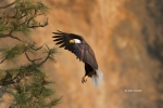 Bald-Eagle;Birds-of-Prey;Eagle;Flying-Bird;Haliaeetus-leucocephalus;Oregon;Photo
