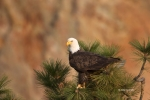 Bald-Eagle;Birds-of-Prey;Eagle;Haliaeetus-leucocephalus;One;Oregon;Smith-Rock-St