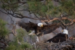 Bald-Eagle;Eagle;Flying-Bird;Haliaeetus-leucocephalus;Nest;One;Photography;actio