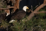 Bald-Eagle;Eagle;Haliaeetus-leucocephalus;Nest;One;avifauna;bird;birds;color-ima
