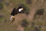 Bald-Eagle;Eagle;Flying-Bird;Haliaeetus-leucocephalus;Nest;Nesting-Material;Phot