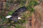 Bald-Eagle;Eagle;Flying-Bird;Haliaeetus-leucocephalus;One;Photography;action;act