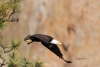 Bald-Eagle;Eagle;Flying-Bird;Haliaeetus-leucocephalus;Photography;action;active;