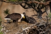 Bald-Eagle;Eagle;Feeding-Behavior;Haliaeetus-leucocephalus;Nest;Oregon;Smith-Roc