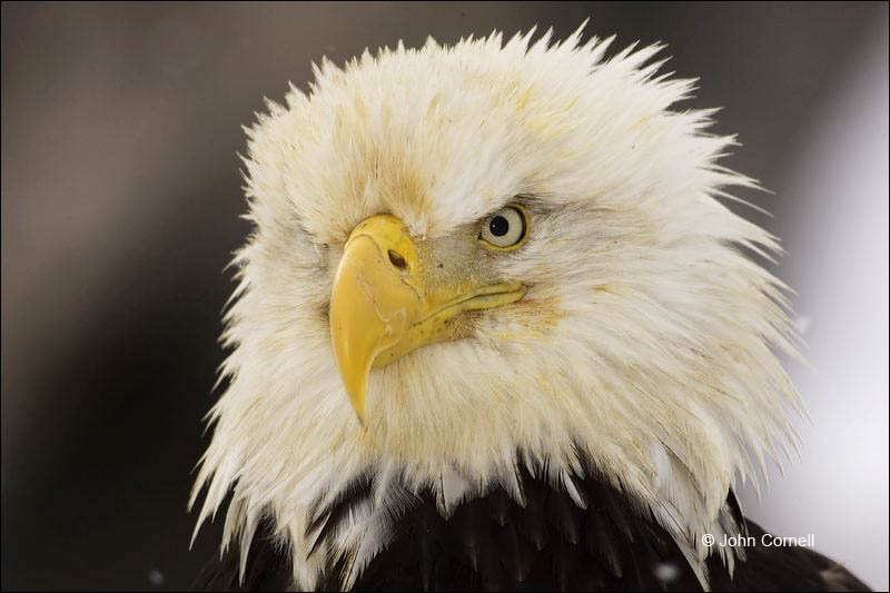 Alaska;Kenai Peninsula;Bald Eagle;Haliaeetus leucocephalus;Birds of Prey;Curved Beak;Hunter;Hunters;Predator;Predatory;Talon;Talons;Raptor;Raptors;portrait;one animal;close-up;color image;photography;day;birds;animals in the wild;avifauna;eye;nature;wild;wilderness;looking;perching;perched;watch;watchful;outdoors;Wildlife;Close up;close up