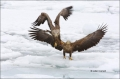 White-tailed-Eagle;White-tailed-Sea-Eagle;Sea-Eagle;Haliaeetus-albicilla;Japan;S