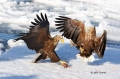 White-tailed-Eagle;White-tailed-Sea-Eagle;Sea-Eagle;Haliaeetus-albicilla;Japan;b