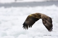 White-tailed_Eagle