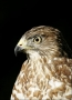 Merlin;Falcon;Falco-columbarius;Birds-of-Prey;Curved-Beak;Hunter;Hunters;Predato