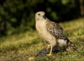 Florida;Everglades;Hawk;Red-shouldered-Hawk;Prey;one-animal;close-up;color-image