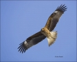 Black-eared-Kite;Black-Kite;Kite;Flight;Black-eared-Kite;Milvus-migrans;one-anim