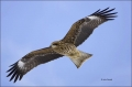 Black-eared-Kite;Black-Kite;Kite;Flight;flying-bird;one-animal;close-up;color-im