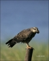 Snail-Kite;Rostrhamus-sociabilis;Kite;one-animal;close-up;color-image;photograph