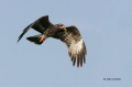 Florida;Southeast-USA;Kite;Snail-Kite;Rostrhamus-sociabilis;Flying-bird;action;a