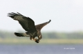 Snail-Kite;Kite;Flight;Florida;Southeast-USA;Rostrhamus-sociabilis;Flying-bird;a