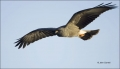 Florida;Southeast-USA;Snail-Kite;Kite;Flight;Rostrhamus-sociabilis;flying-bird;o