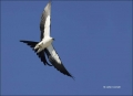 Florida;Flight;Swallow-tailed-Kite;Everglades;Elanoides-forficatus;Flying-bird;O