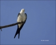 Florida;Southeast-USA;Swallow-tailed-Kite;Kite;Elanoides-forficatus;Birds-of-Pre