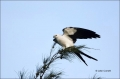 Elanoides-forficatus;Kite;Swallow-tailed-Kite;Birds-of-Prey;curved-beak;hunter;h