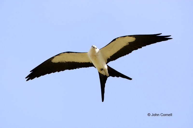 Swallow-tailed Kite;Elanoides forficatus;Kite;Flying bird;action;aloft;behavior;flight;fly;flying;soar;wing;winged;wings;one animal;Color Image;Photography;Birds;Animals in the Wild;Action;Active;in flight;motion;movement;soaring;Breeding Behavior;Breeding Plumage;Nesting;Birds of Prey;curved beak;hunter;hunters;raptor;raptors;talon;talons;predator;predators;raptorial;Flight