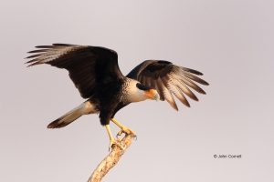 Birds-of-Prey;Caracara;Caracara-cheriway;Crested-Caracara;curved-beak;hunter;pre