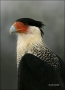 Northern-Caracara;Caracara;Caracara-cheriway;one-animal;close-up;color-image;nob