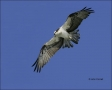 Osprey;Flight;one-animal;close-up;color-image;nobody;photography;day;birds;anima