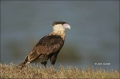 Northern-Caracara;Caracara;Caracara-cheriway;Juvenile;Birds-of-Prey;Curved-Beak;