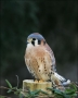 American-Kestrel;Kestrel;Male;one-animal;close-up;color-image;nobody;photography