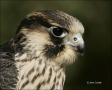 Peregrine-Falcon;Falcon;Falco-peregrinus;portrait;one-animal;close-up;color-imag