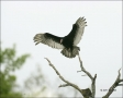 Turkey-Vulture;Vulture;Cathartes-aura;flying-bird;one-animal;close-up;color-imag