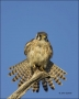 Falcon;Florida;Kestrel;American-Kestrel;Falco-sparverius;Birds-of-Prey;Curved-Be