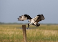 Pandion-haliaetus;Osprey;Flying-bird;One-animal;Close-up;Color-image;photography